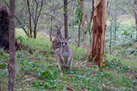 Wild kangaroos!